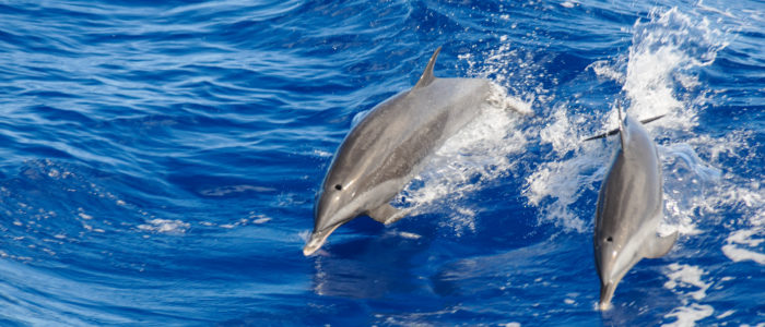 St Lucia Whale and Dolphin Spotting